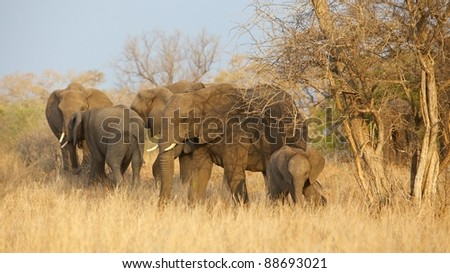 Part of a breeding herd of African elephant (Loxodonta africana) in the Kruger National Park, South Africa. - stock photo