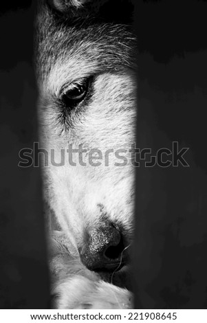 Part of a sad dog face and eye. Black and white photography