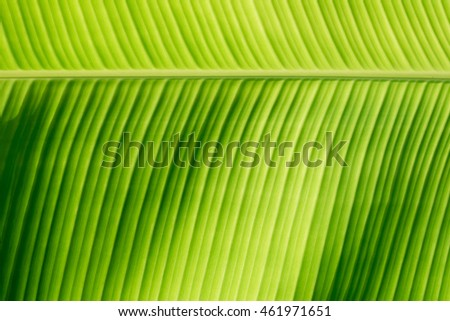 Part of banana leaf detail have high light and shadow for background or design.
