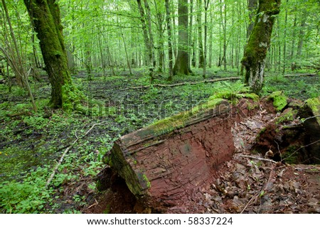 Part of old oak in foreground lying and old hornbeams in background standing. Springtime natural mixed stand of Bialowieza Forest - stock photo