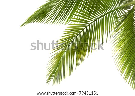 Part of palm tree on white background - stock photo