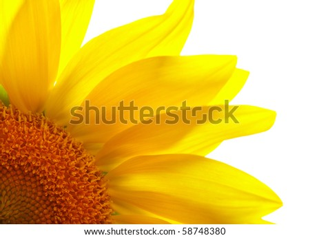 Part of sunflower on white background - stock photo