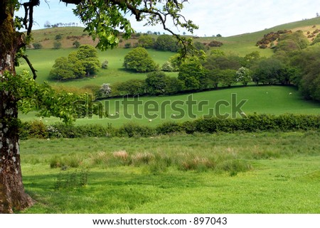 Part of the trunk and overhead branches of an oak tree, with sheep, meadows, trees and flowering hawthorns beyond. - stock photo