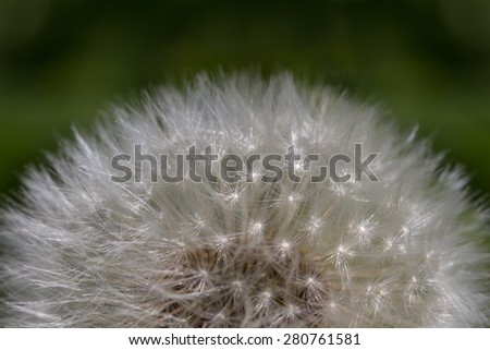 Part of white fluffy dandelion. - stock photo