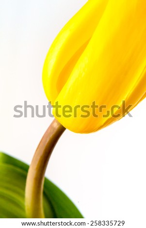 part of yellow tulip close up isolated on white - stock photo