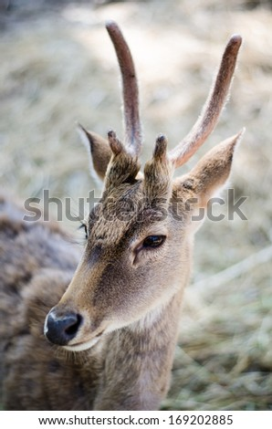 Part of young brown deer with antlers