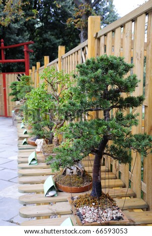 PARTENIT, UKRAINE - OCTOBER 18: the Exhibition of garden art of cultivation of dwarfish trees bonsai, cedrus atlantica October 18, 2010 in Partenit, Ukraine