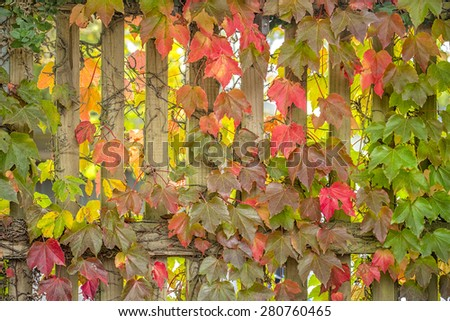 Parthenocissus creeper plant on wood fence in autumn  - stock photo