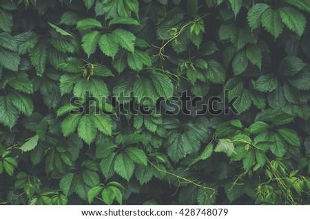 Parthenocissus quinquefolia plant background - stock photo