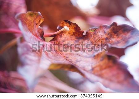 Parthenocissus quinquefolia,Victoria creeper ,five-leaved ivy, large red leaf close up, detail - stock photo