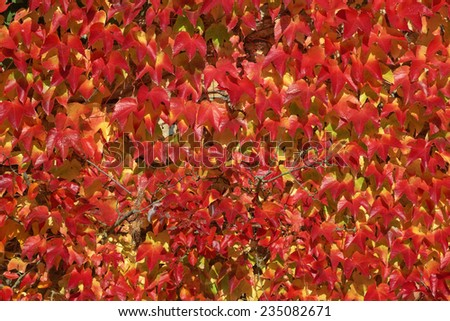 Parthenocissus tricuspidata, Japanese creeper, Woodbine, Boston Ivy, Ivy in autumn, Germany - stock photo