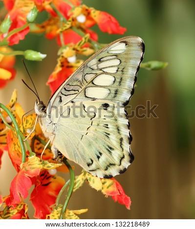 Parthenos sylvia butterfly (Clipper) - stock photo