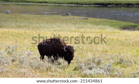 Partial front view of a single North American Bison (Buffalo) grazing in open prairie with Yellowstone River in background - stock photo