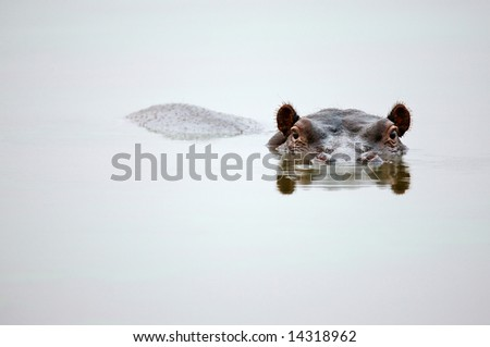 Partial Hippo face showing above smooth water; Hippopotamus amphibius; South Africa - stock photo