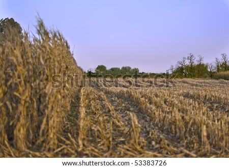 Partially cropped wheat field under a clear sky in the golden hour - stock photo