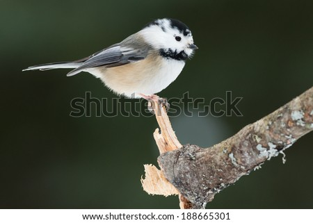 Partially Leucistic Black-capped Chickadee perched on a branch.