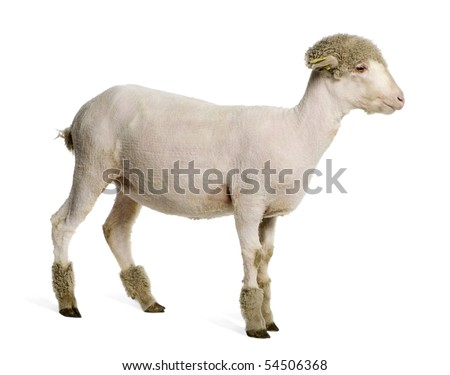 Partially shaved Merino lamb, 4 months old, in front of white background - stock photo