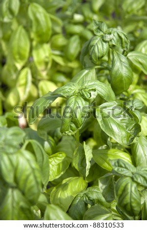 particularly basil plants in a garden