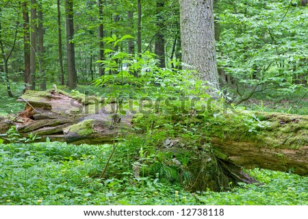 Partly declined dead tree lying among forest plants with elderberry bush in foreground - stock photo