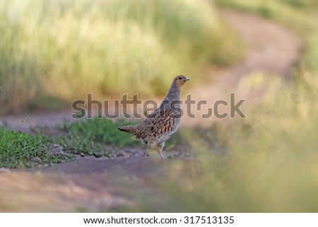 partridge on the road/Grey partridge