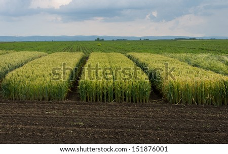 parts of land for testing cereal hybrids - stock photo