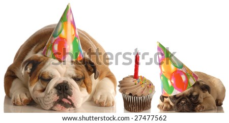 party animals - an english bulldog and a pug puppy laying beside a chocolate cupcake - stock photo