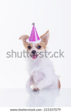 party chihuahua cute dog