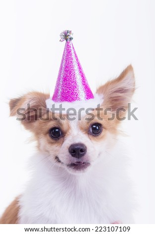 party chihuahua cute dog - stock photo