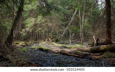 Party declined stump with parts of broken alder tree around against dense coniferous stand in morning, Bialowieza Forest, Poland, Europe