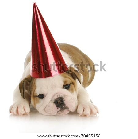 party dog - english bulldog puppy wearing red party hat with reflection on white background - stock photo