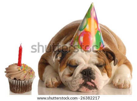 party pooper - english bulldog with birthday party hat laying beside chocolate cupcake - stock photo