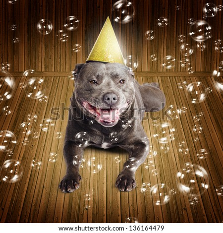 Partytime for a beautiful blue pedigreed staffordshire bull terrier dog on his birthday or New Year lying smiling on a wood floor wearing a comical party hat surrounded by iridescent floating bubbles - stock photo
