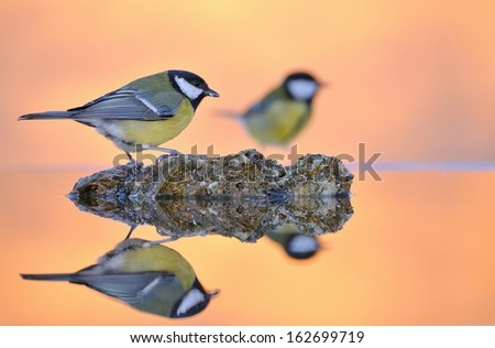 Parus major, great tit in the water. - stock photo