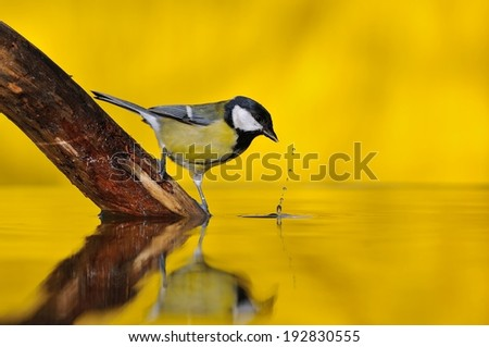 Parus major, great tit  reflection on the water.