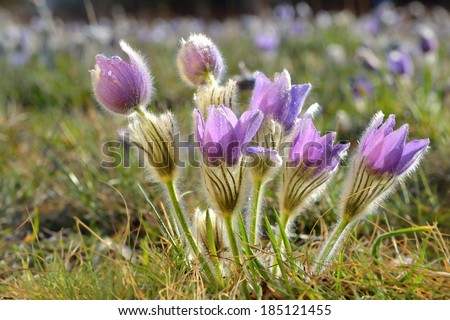 Pasque Flower blooming on spring meadow at the sunset - Pulsatilla grandis. Fine blurred natural background color. Czech Republic city of Brno. - stock photo