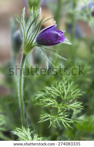 Pasque flower (Pulsatilla vulgaris). Also known as pasqueflower, common pasque flower or Dane's blood. Detail. - stock photo