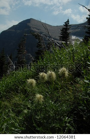 Pasque flowers in seed mode with mountain in background - stock photo