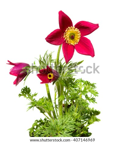 Pasqueflower or meadow anemone on white background, it is used for medical purpose in homeopathic medicine very often for womans disease. - stock photo