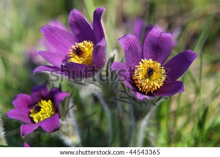 pasqueflower (Pulsatilla vernalis) - stock photo