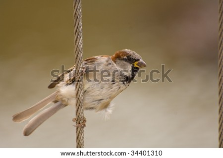 Passer domesticus, House Sparrow, Old World sparrow grasping cable fence