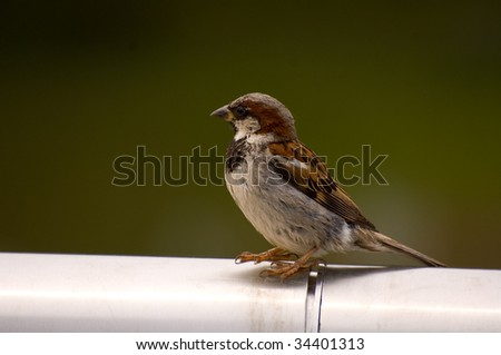 Passer domesticus, House Sparrow, Old World sparrow sitting on fence - stock photo