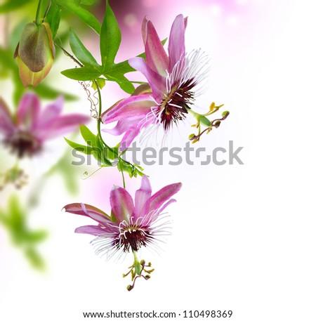 Passiflora Border Design - stock photo