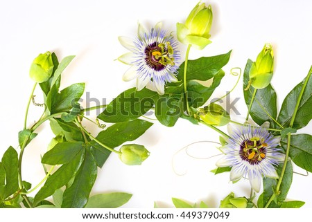 Passiflora on a white background