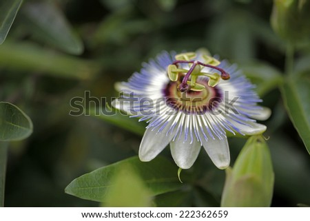 Passion flower - stock photo