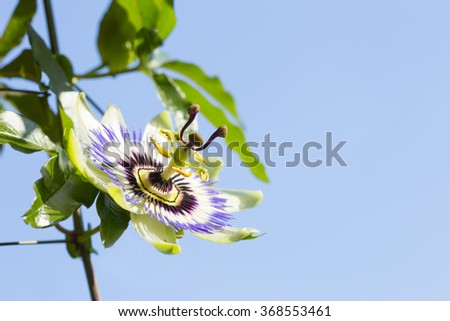 passion flower close up against a blue sky background - stock photo