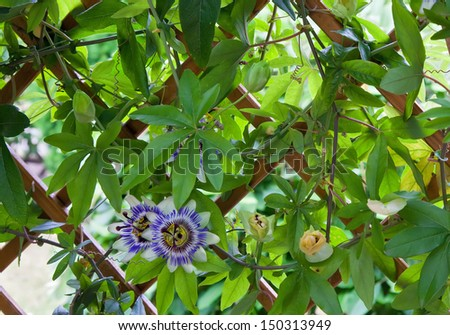 passion flower in the garden - stock photo