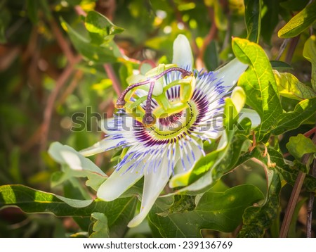 Passion flower in the summer sun closeup - stock photo