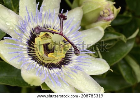 Passion flower with water drops - stock photo