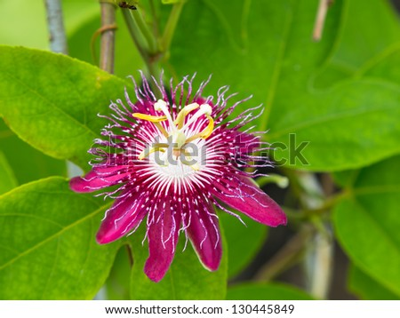 Passion flowers or passion vines (Lady Magaret) - stock photo