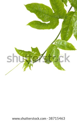 Passion fruit and leaf border - stock photo